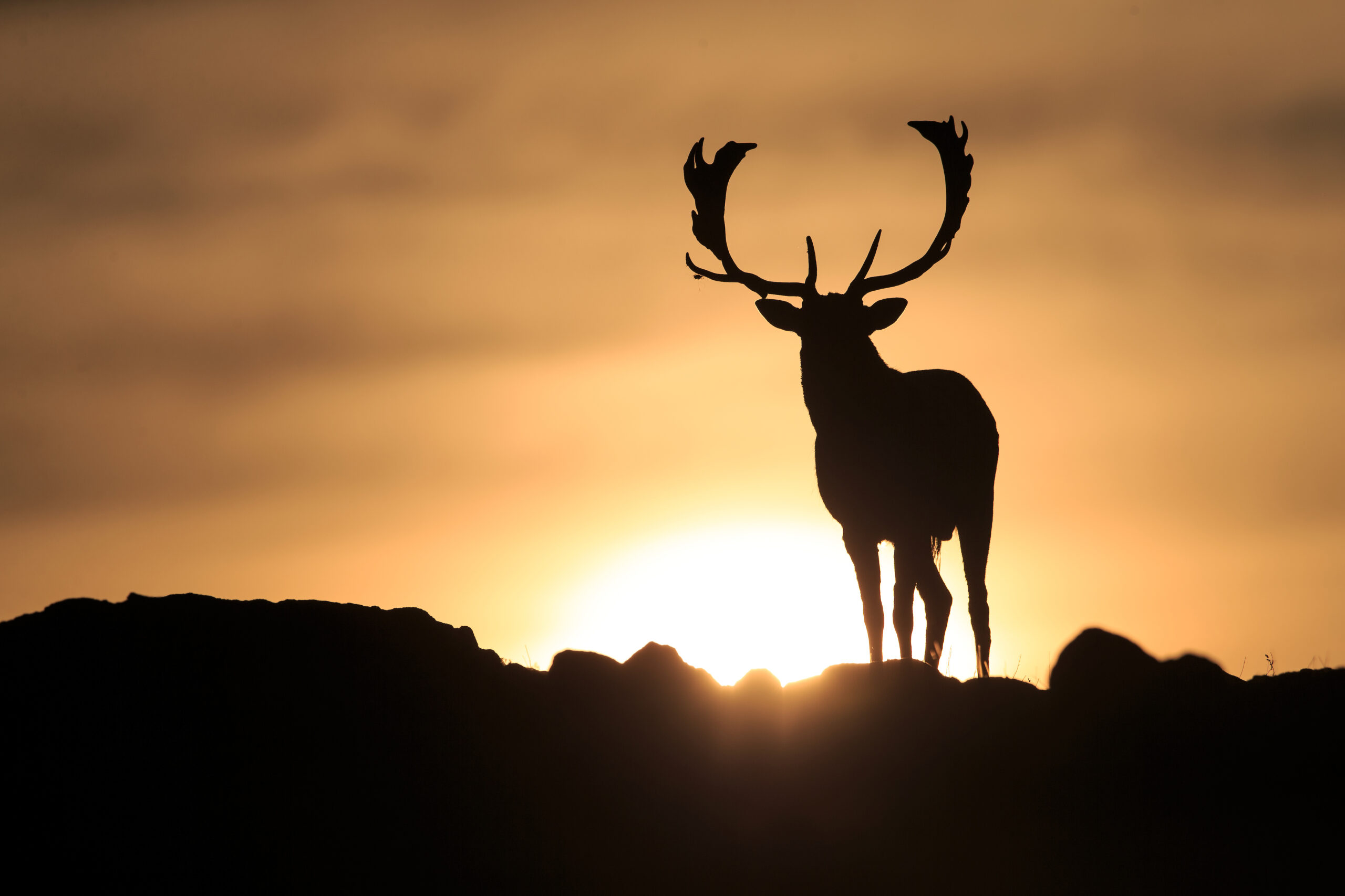Fallow deer in the Rhodope Mountains, Bulgaria