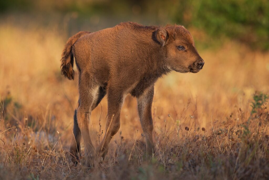 European bison calf