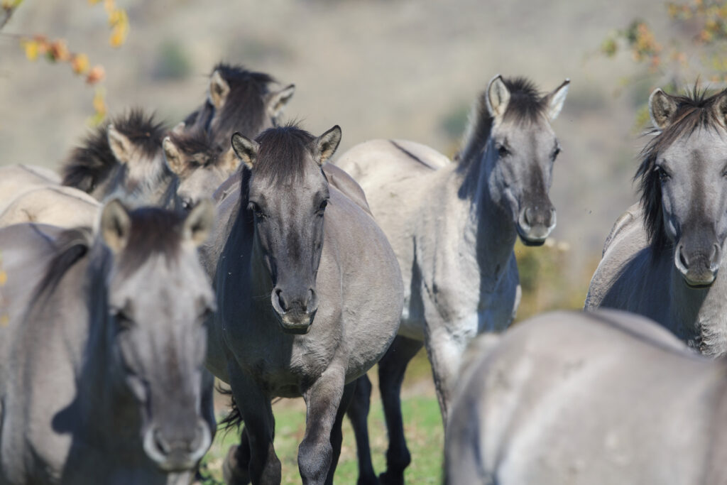 Tarpan horses in the Rhodope Mountains, Bulgaria