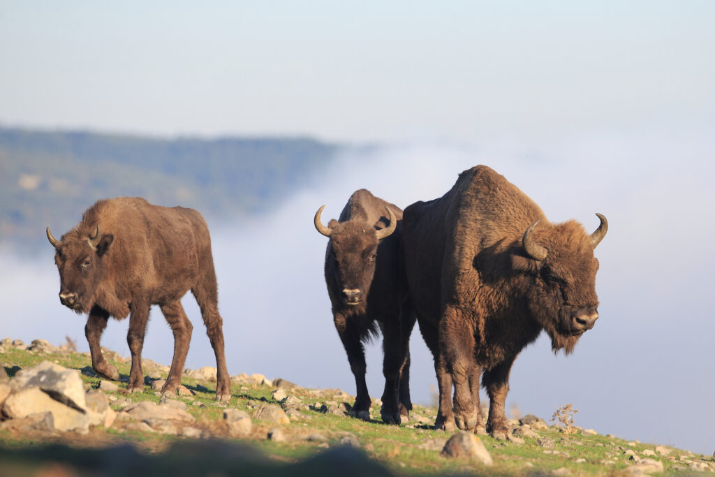 European bison in the Rhodope Mountains, Bulgaria