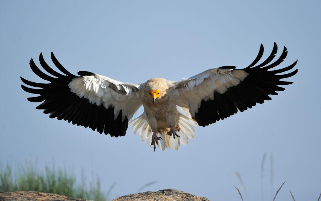 Egyptian vulture, Faia Brava reserve, Côa valley,Portugal