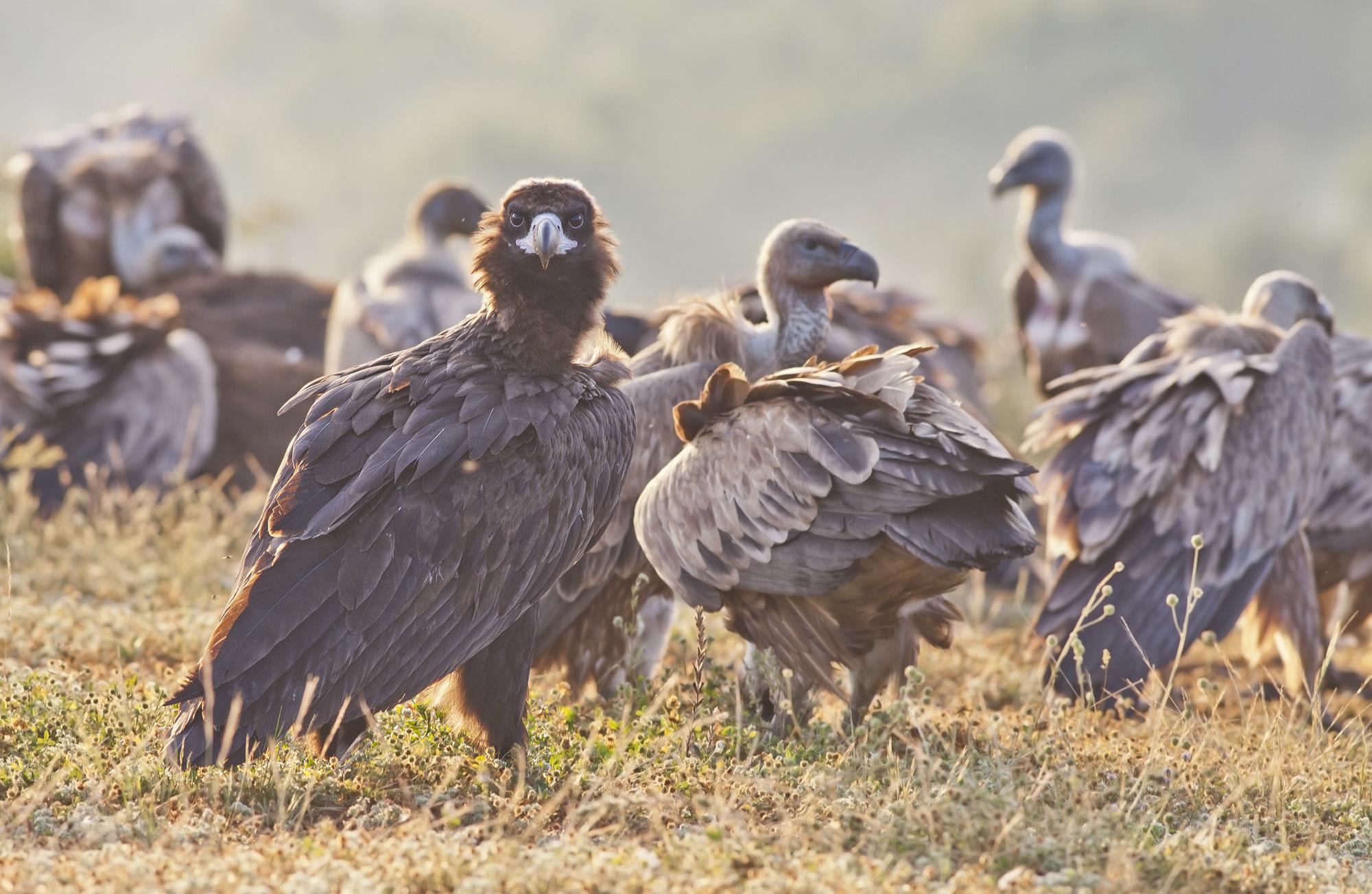 Black vulture and griffon vultures