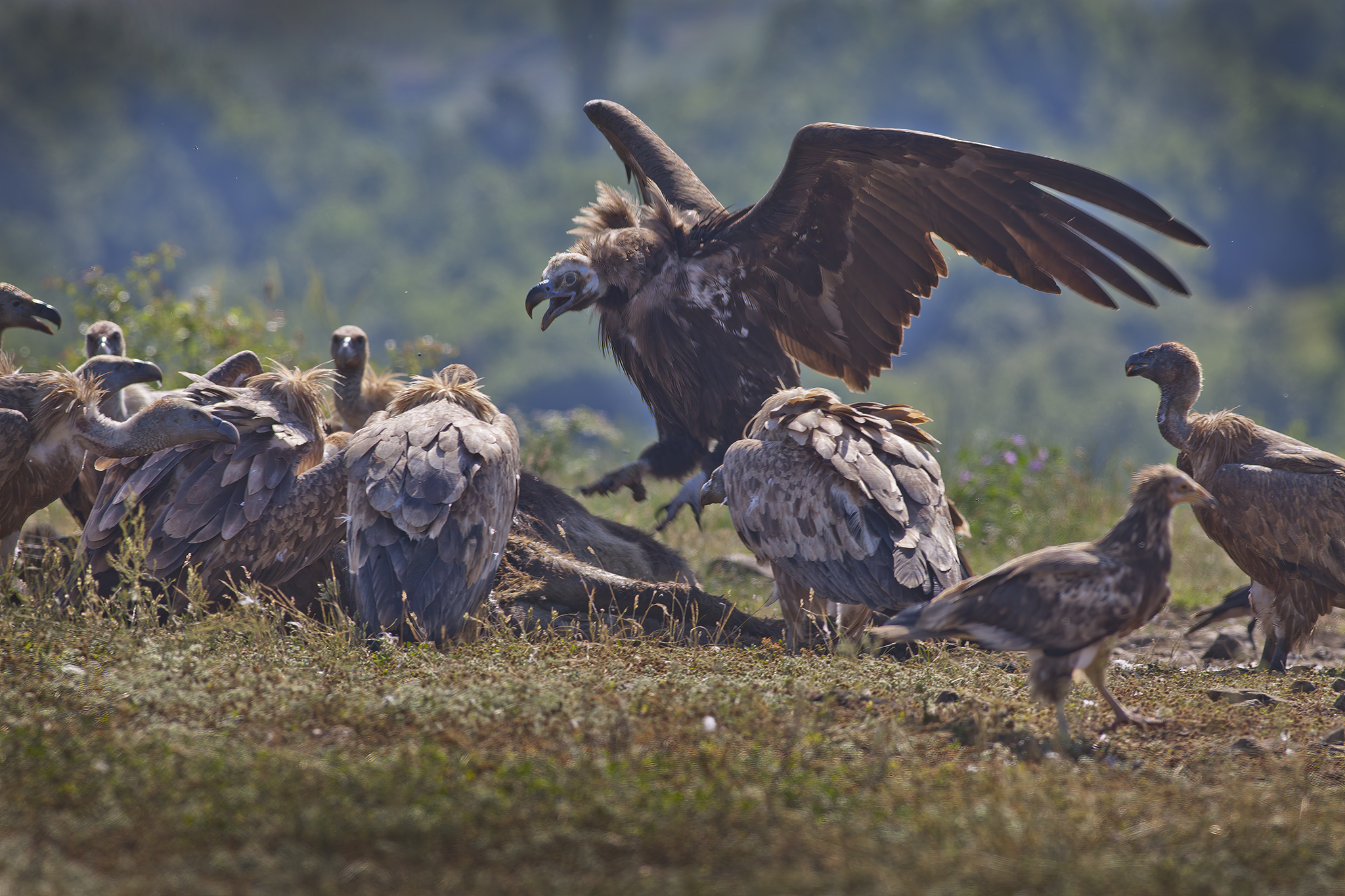 Black and griffon vultures