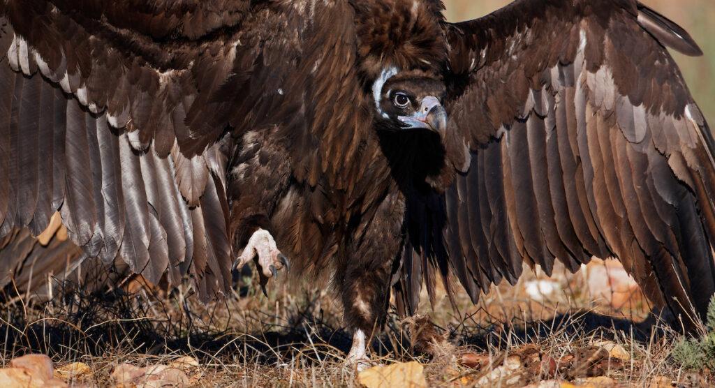 Black Vulture (Aegypius monachus) Spain December 2008