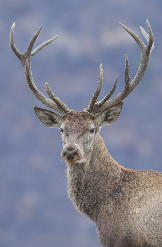 Red deer in the Rhodope Mountains, Bulgaria